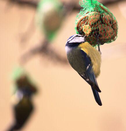 Blue Tit on food
