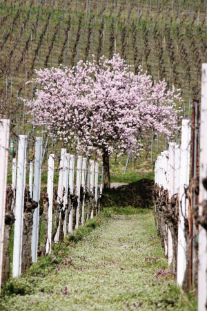 Vineyard with almond tree
