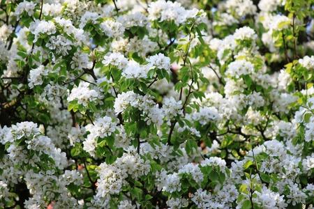 Boom bloeit in de boomgaard