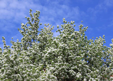 Tree flowers and sky Stock Photo