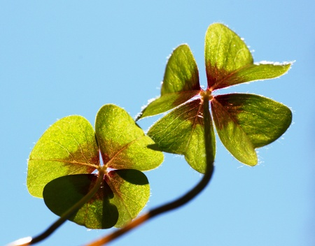 Clover Stock Photo - 19316964