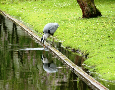Heron at Pond Stock Photo