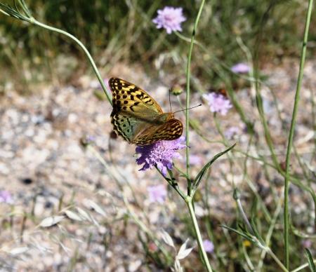 Argynnis paphia Stock Photo