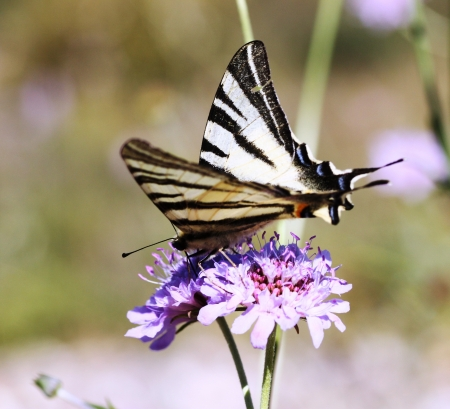 swallowtail: Scarce Swallowtail Stock Photo