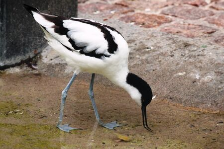 waders: Recurvirostra avosetta Stock Photo