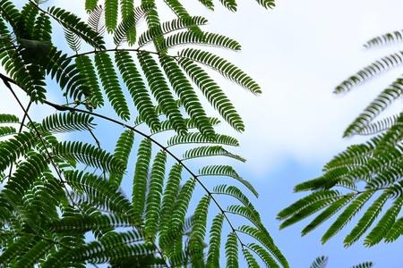 silk acacia