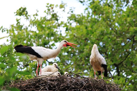 ciconiiformes: White Stork Stock Photo