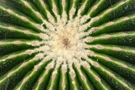 kerneudikotyledonen: succulents patterns Stock Photo
