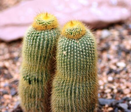 kerneudikotyledonen: Small green cactus