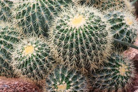 kerneudikotyledonen: Cacti
