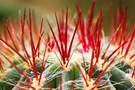 kerneudikotyledonen: red cactus spines
