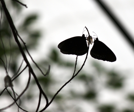 Butterfly Couple Silhouette