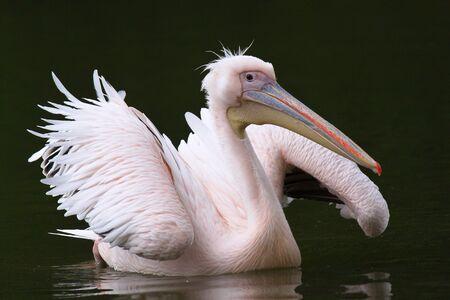 pelecanidae: Funny Pink Pelican