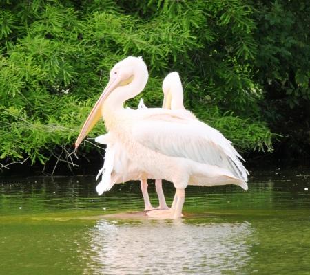 pelecanidae: pink pelican