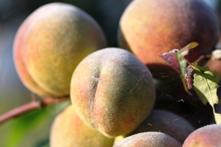 rosales: Peaches on the tree