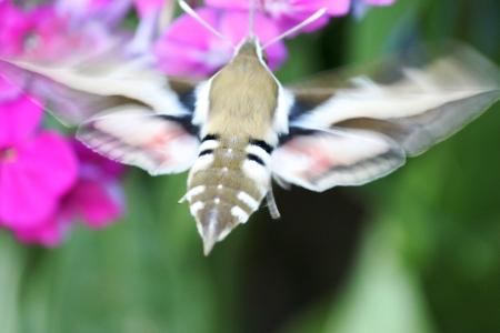 kerneudikotyledonen: Phlox with Hummingbird
