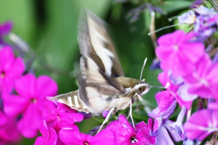 kerneudikotyledonen: Phlox with Hummingbird