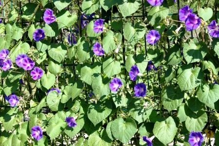 kerneudikotyledonen: Ipomoea purpurea