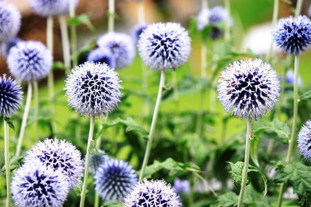 Ruthenian globe thistle