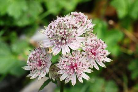 Astrantia Major bloom