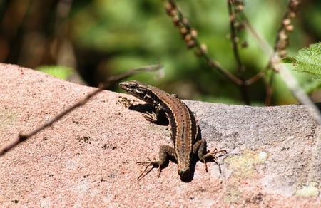 zootoca: Forest Lizard