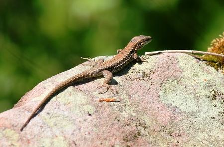 vivipara: Forest Lizard