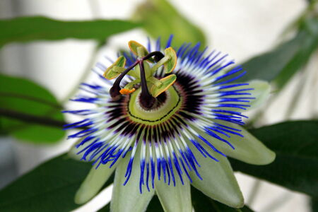 kerneudikotyledonen: Blue passion flower