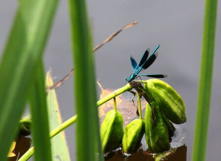 zygoptera: Blue-winged Demoiselle Stock Photo