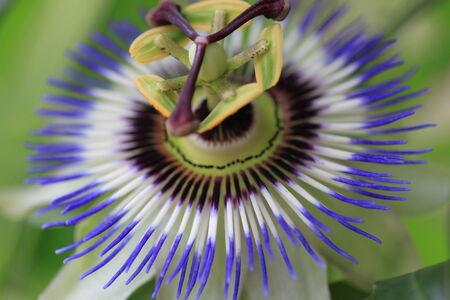 kerneudikotyledonen: Flower of the Passionflower Stock Photo
