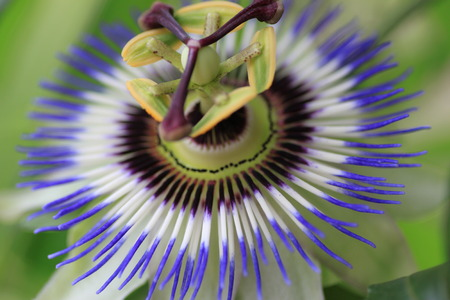 passionflower: Flower of the Passionflower Stock Photo