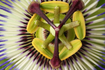 kerneudikotyledonen: Flower of the Passionflower Stock Photo