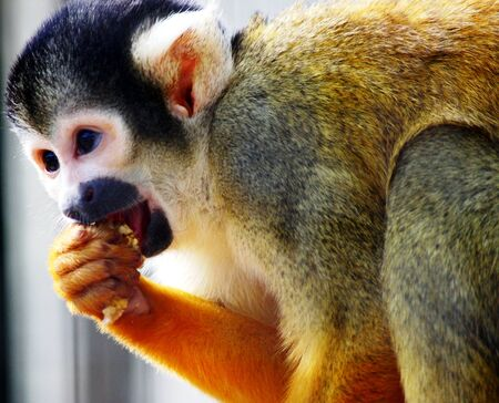 animal husbandry: monkey