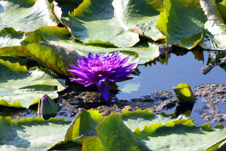 water lily Stock Photo