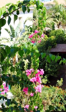 bougainvillea: Pink Bougainvillea