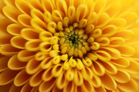 aster: yellow aster