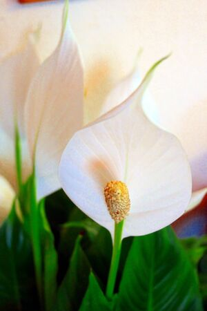 peace lily: Spathiphyllum