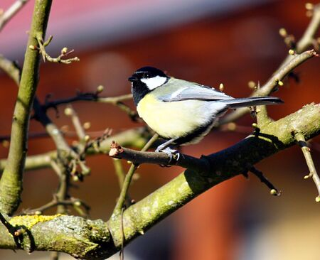 great tit: great tit Stock Photo