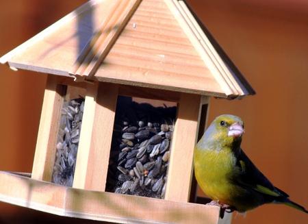 green finch Stock Photo