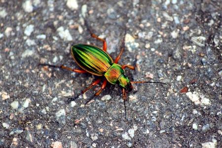 carabidae: Gold shiny beetles