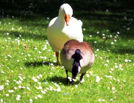 alopochen: Goose