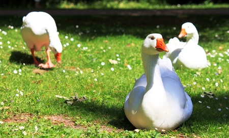 Domestic goose in the spring Stock Photo
