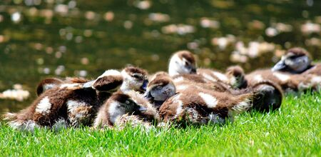 alopochen: Egyptian goose chick