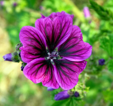 mallow: Purple mallow