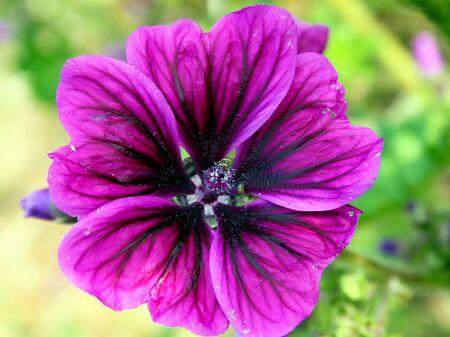 Purple mallow