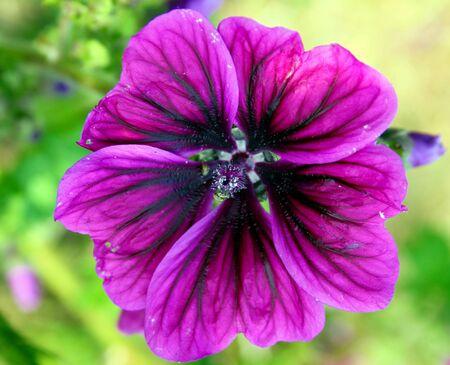mallow: Purple mallow
