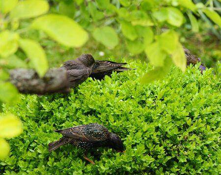 foraging: Blackbirds foraging