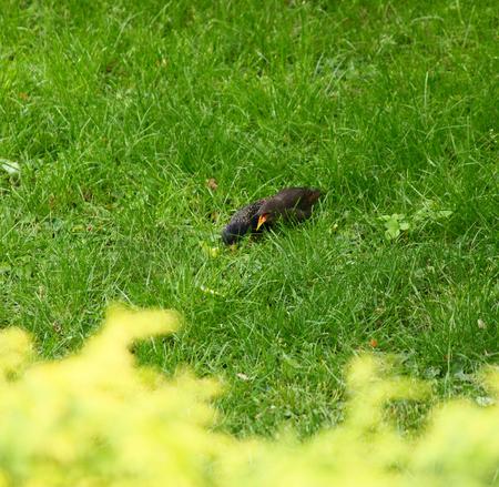Blackbirds foraging