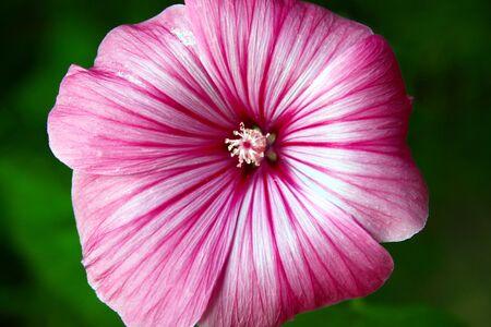 malvaceae: lavatera trimestris Stock Photo