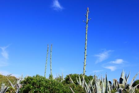 century plant: Agave
