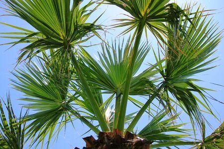 tropical shrub: Fan Palm